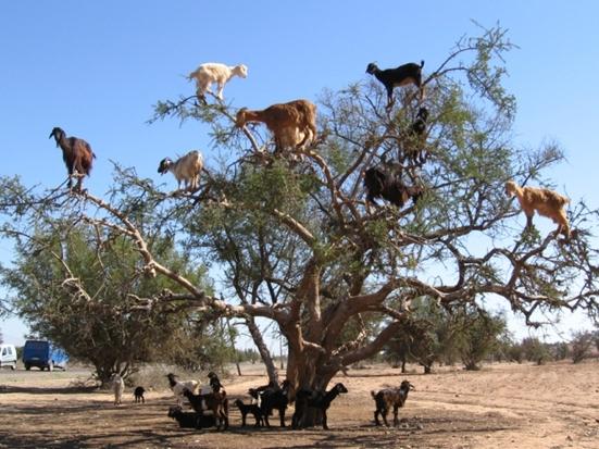 Koze na drveću
