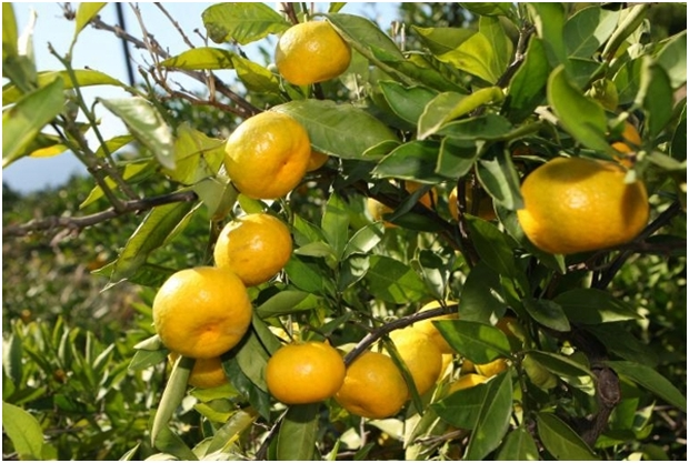 Zašto je jako važno jesti mandarine?