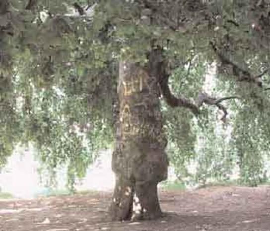 Putnici i drvo platana