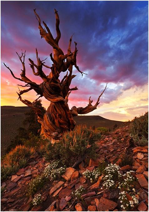 Najstarije drveće na svijetu