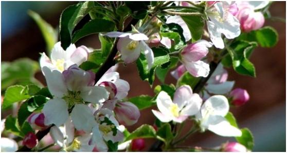 Cvjetna grana