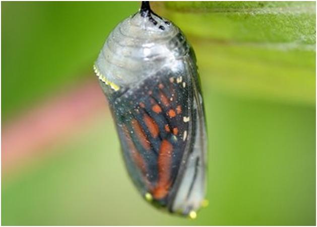 Leptir i kukuljica