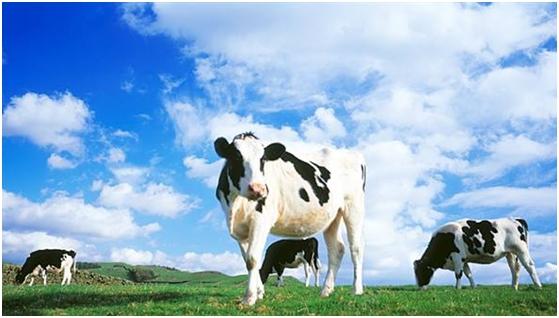 Nezasita krava