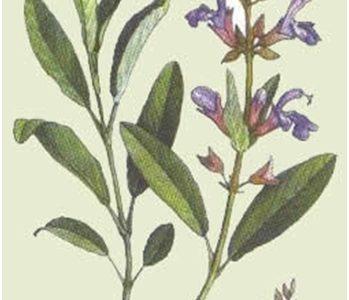 Kadulja (Salvia officinalis)