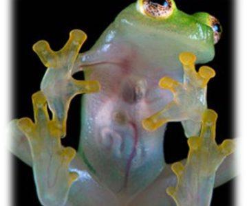 Staklene žabe