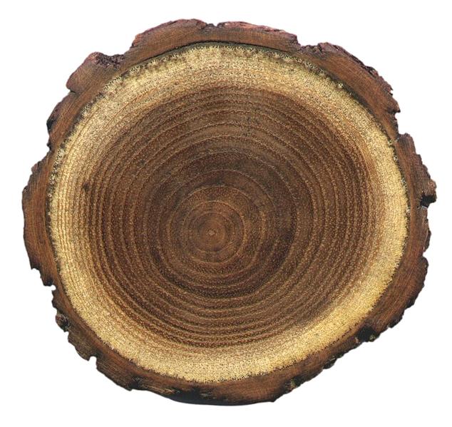 Kako se u drvetu stvaraju prstenovi?