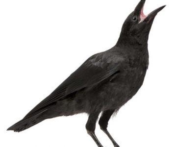 Ptičar i crna vrana