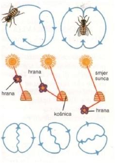 Kako pčele 'govore'?