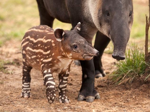 Tapiri