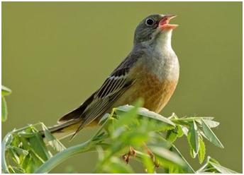 Pjevaju li ptice pjevice isto kao ljudi?