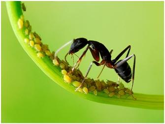 Mravi farmeri