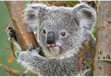 Zašto koale vole grliti drveće?