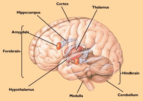 Kako mozak pročišćava i pohranjuje sjećanja?