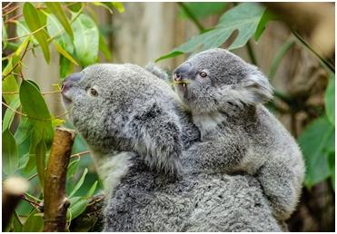Da li je koala medvjed?
