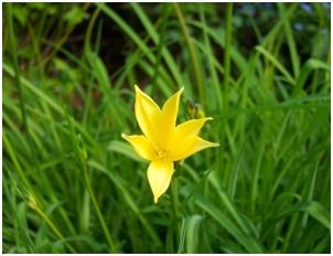 Žuti cvijet