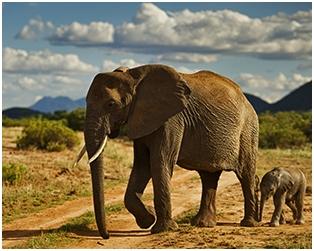 Odakle potječu slonovi?