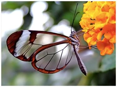 Leptir sa staklenim krilima