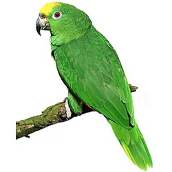 Priča o bakalu i papagaju