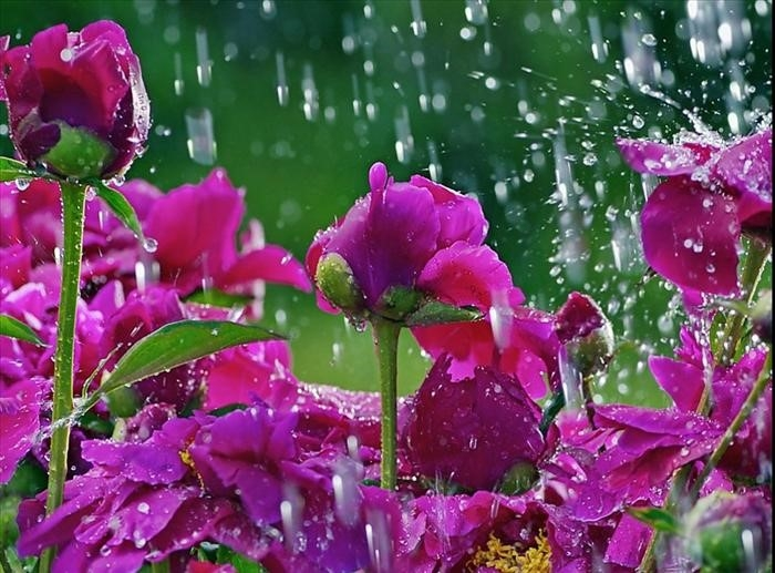 Zašto cvijeće jače miriše poslije kiše?