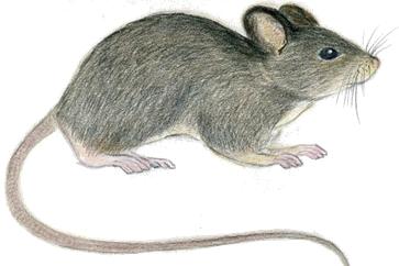Kućni i poljski miš