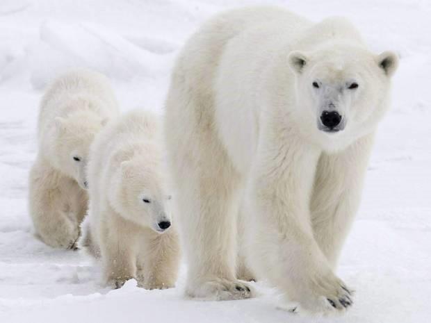 Zašto polarni medvjed ima bijelo krzno?