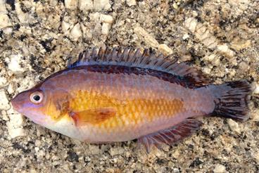 Riba u jaruzi
