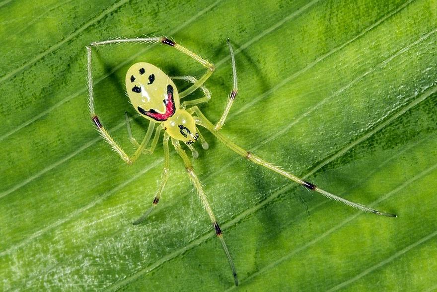 Pauk koji se smije