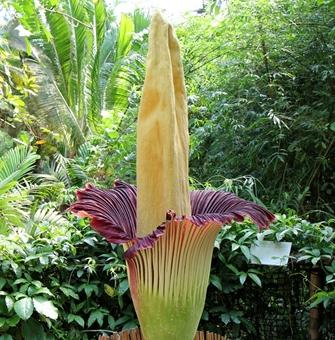 Najveći cvijet na svijetu