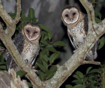 Sova – noćna ptica?