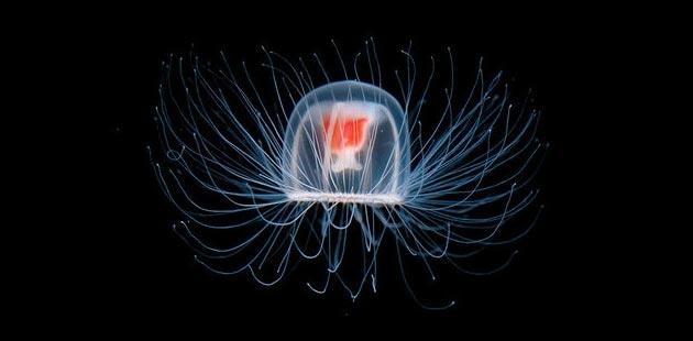 Turritopsis dohrinii – besmrtna meduza