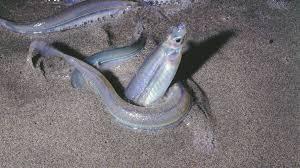 Grunion: Čudesni riblji ples na pesku