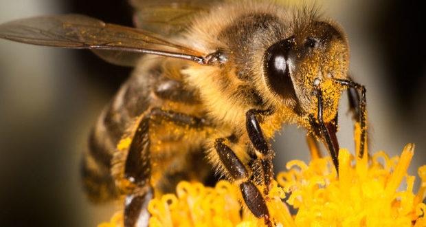 Medonosna pčela